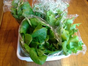 This lettuce from the Tower Garden is ready to be donated to the local homeless shelter.