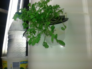 Cress in the Tower Garden